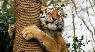 A tiger at dartmoor zoo